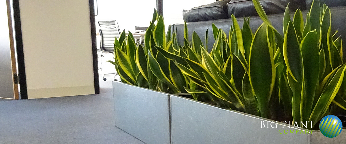 Office Plants From The Big Plant Company. Choose From Real Office Plants Or Artificial  Office